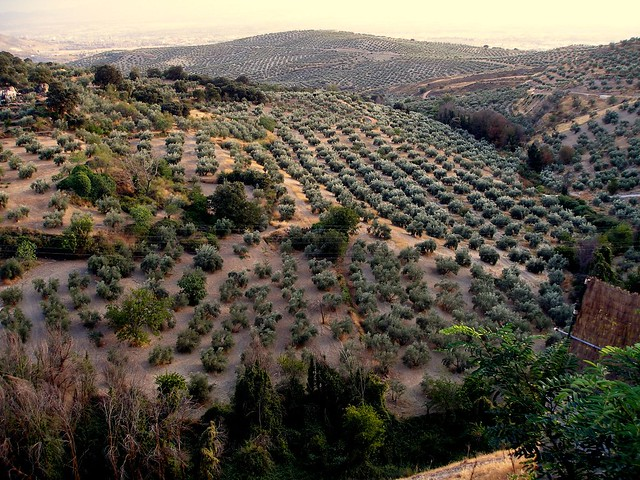 Olive Grove in Andalusia
