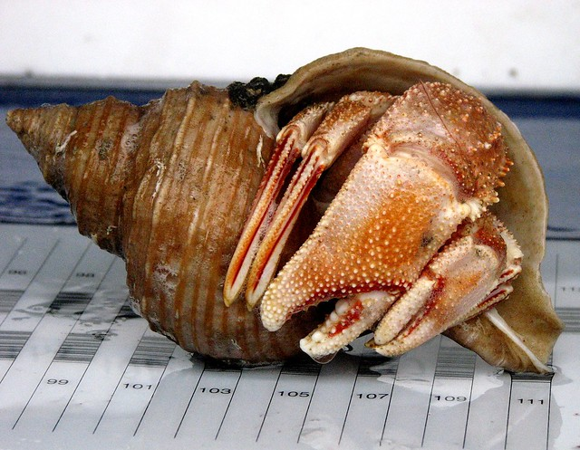 Alaskan Hermit Crab (Pagurus ochotensis)