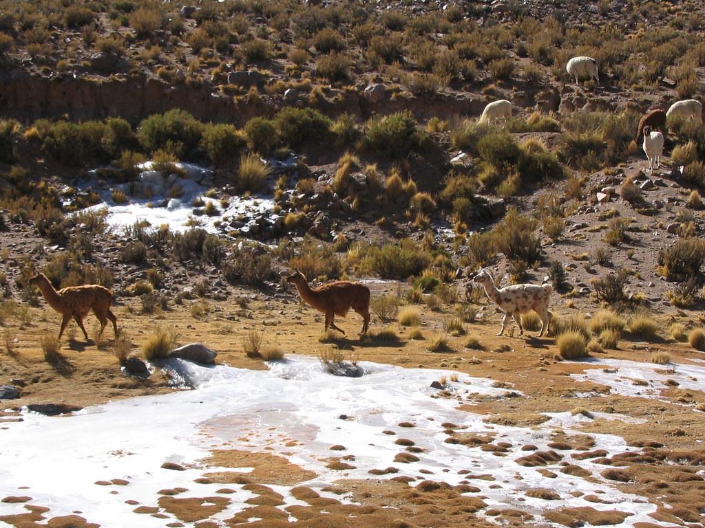 Premiers lamas du voyage