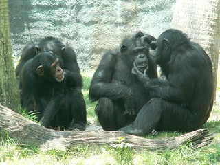 Chimps Grooming   by Dragon Photo