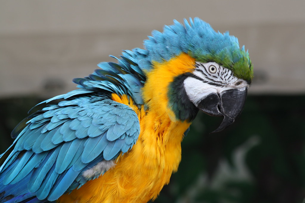Blue and Gold Macaw - all puffed out! | burble2008 | Flickr