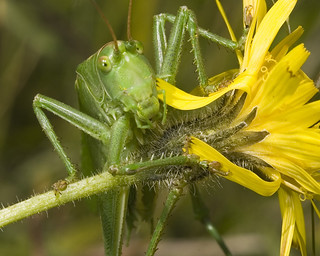 Great Green Bush Cricket | by Durlston Country Park
