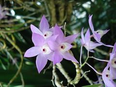 DSC02015 Orchidee