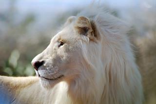White Lion | by arabella