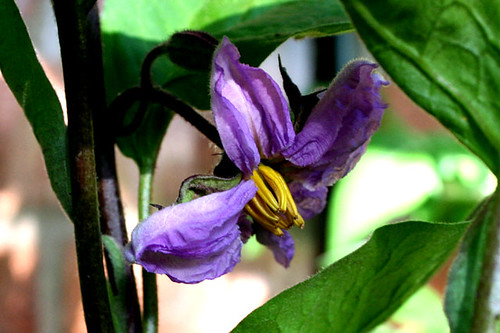 aubergine (eggplant)  flower | by ali graney