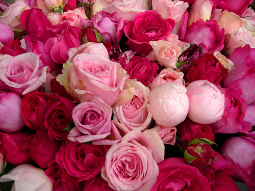 The Most Beautiful Roses Pic Ever Taken More At Design Cr