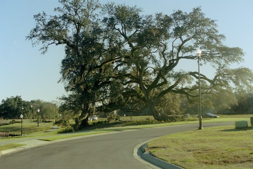 trees oak quercus lafayette live oaks quercusvirginiana