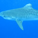 Tiger Shark - Photo (c) Vic DeLeon, some rights reserved (CC BY-NC-ND)