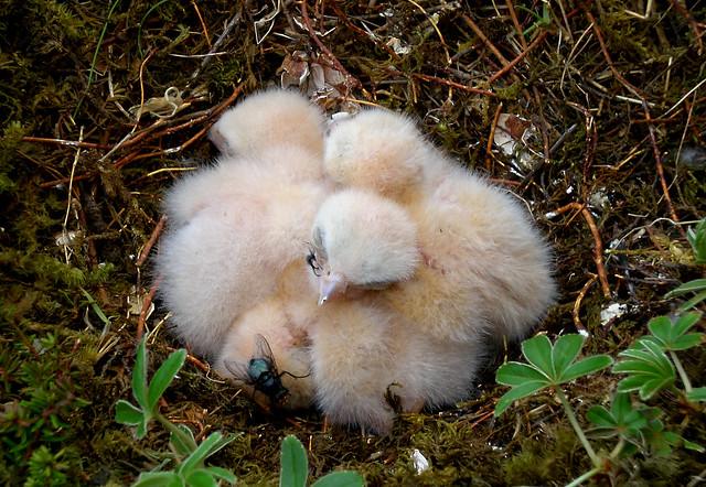 Smyrilshreiður - Merlin - Falco Columbarius nest