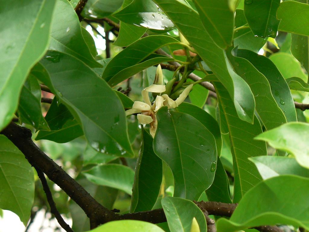 Champaka Tamil சமபகம Magnoliaceae Magnolia Family
