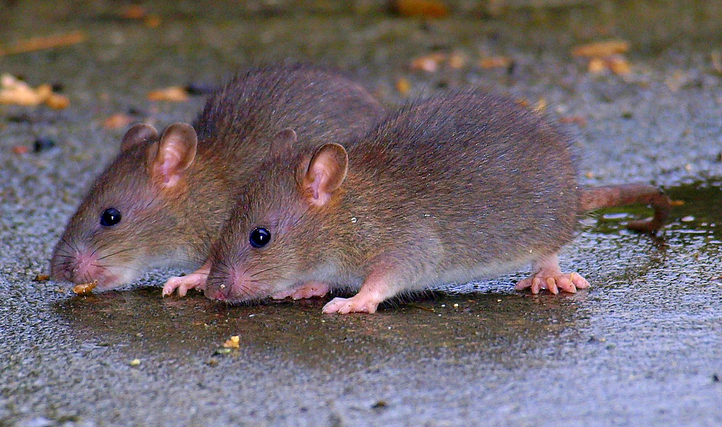 Twin Rat Names