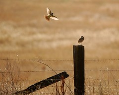 Western Kingbird visits a Burrowing Owl. | by hearman