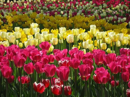 tulip carpet:)