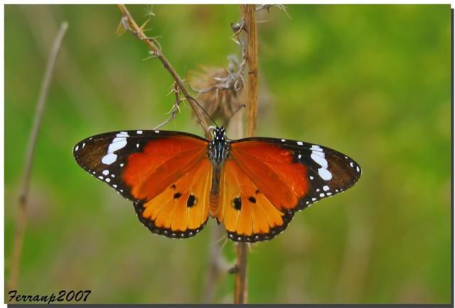 Papallona tigre 01(mascle) - Mariposa tigre (macho) -The Plain Tiger (male) - Danaus chrysippus