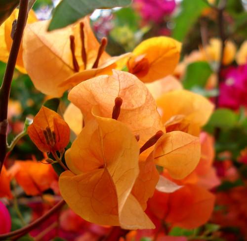 Orange Bougainvillea | by rexb