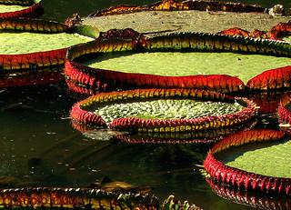 Jardim Botânico - Rio de Janeiro - Brasil - Vitória-régia - Vitória-amazônica  #CLAUDIOperambulando