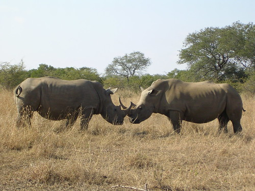 White rhinos fighting, Hluhluwe-Umfolozi National Park, South Africa | by the parasite guru