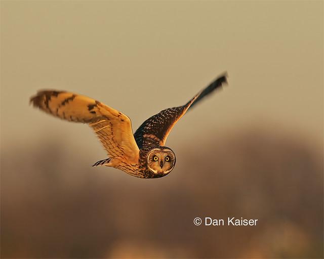 Short-eared Owl #4 by Dan Kaiser