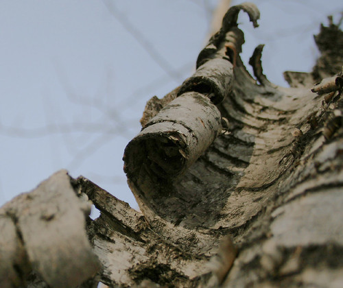 CURLED BARK | by withrow