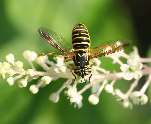 Hornet mimic fly, Spilomyia longicornis