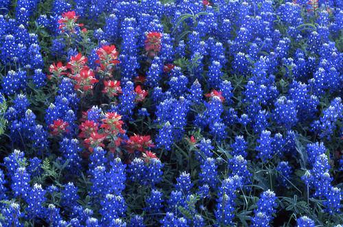 county flower film geotagged washington spring flora bluebonnet velvia100 bluebonnets lupine filmscan indianpaintbrush stateflower texaswildflowers castilleja lupinustexensis washingtoncounty prairiefire texasstateflower