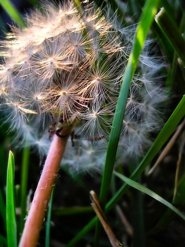 Dandelion Discard | by RichTatum