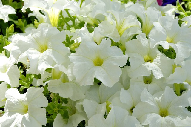 White Petunias  Flower Macro  _DSC0118