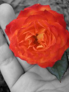 beautiful rose at hot lake