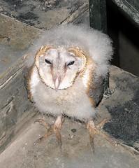baby barn owl 200907 casa ansal | by mnykndspx