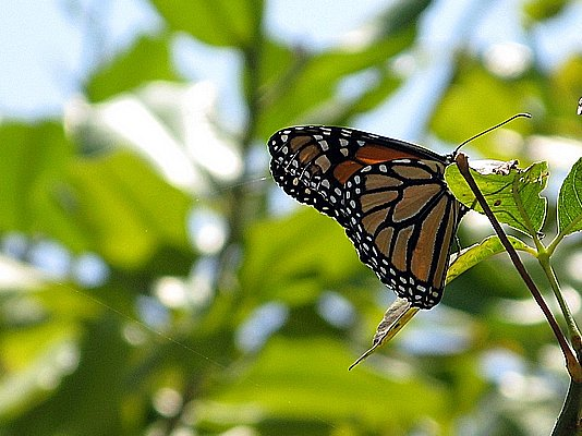 the Monarch of the Insect World