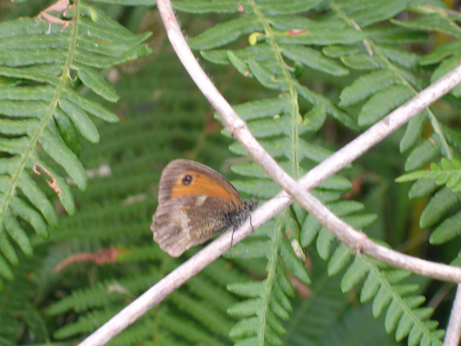 Butterfly on bracken Possibly a meadow brown...Hastings Country Park