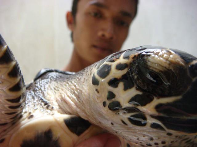 Turtle babies. Java, Indonesia