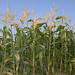 Maize - Photo (c) Carl Lewis, some rights reserved (CC BY)