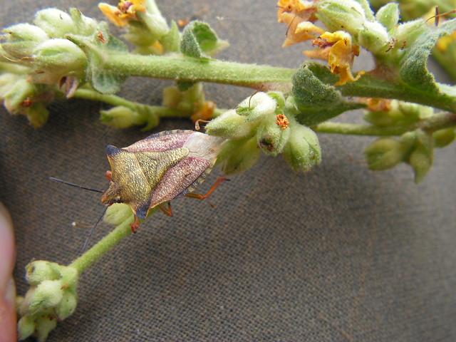 Carpocoris sp. sobre Verbascum sinuatum