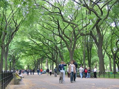 American Elms - Central Park