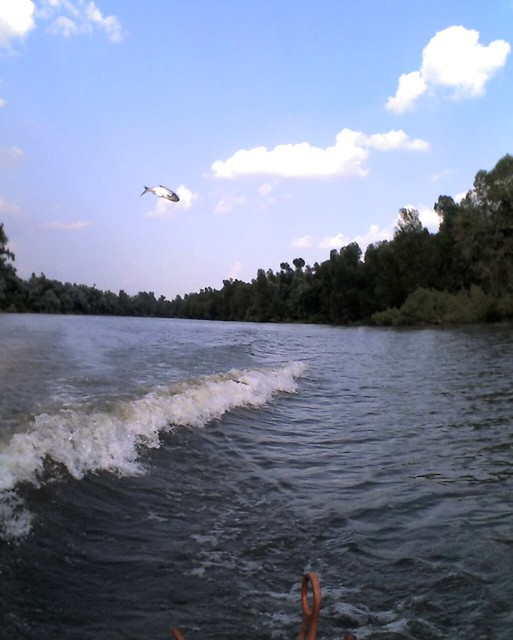 Flying Asian carp on the Mississippi River