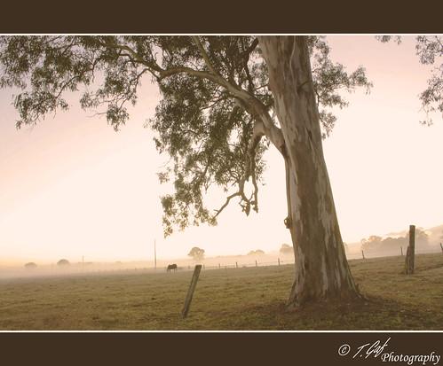 morning winter horse mist cold tree june fog digital rural sunrise canon fence gum eos rebel haze post reserve property australia qld queensland outback eucalyptus logan xsi paddock 450d