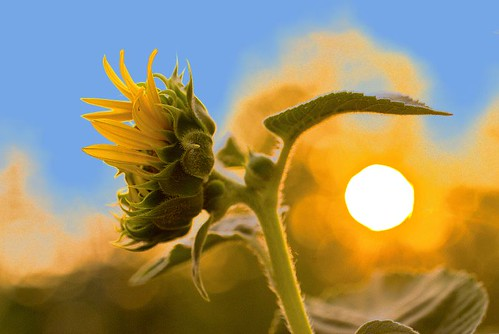 sun composition focus sunflower rise mitja miodrag bogdanovic worldthroughlens worldthroughlenscom