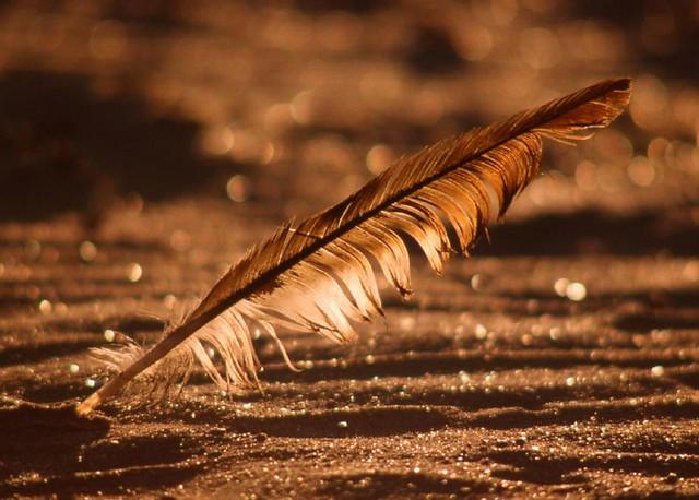 Feather, Aberlady beach