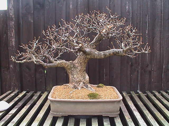 Quercus Robur My Oak Yamadori In Training 7 Years