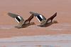 Bernier's Teal, Betsiboka Delta, Madagascar by Terathopius