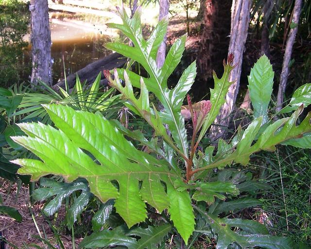 Athertonia diversifolia - Atherton Oak