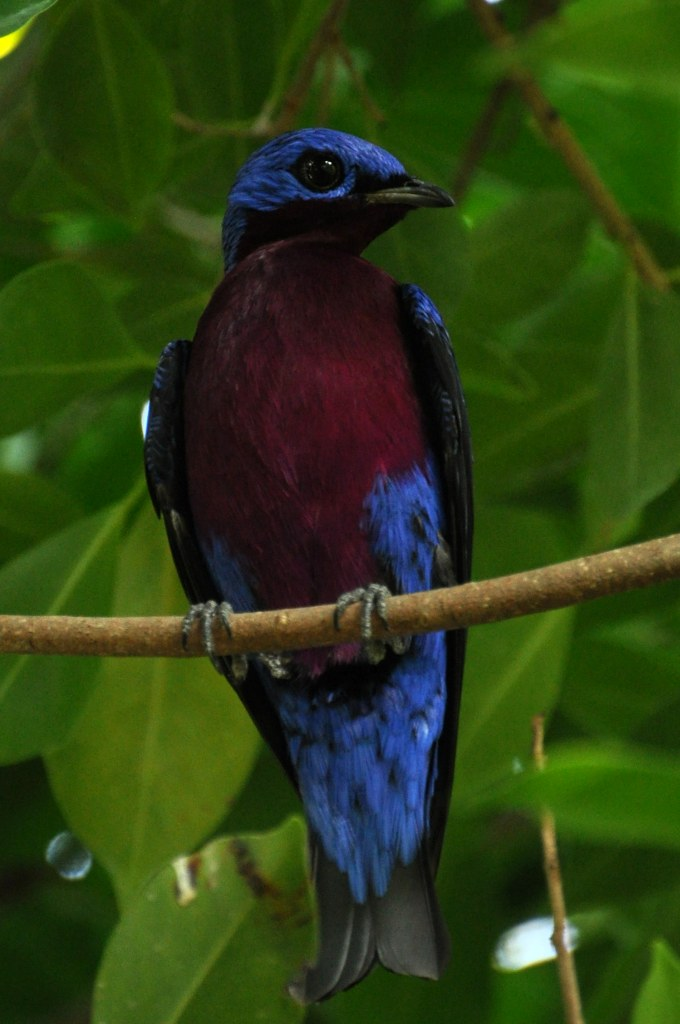 Cotinga cotinga - Purpurlatzkotinga - Purple-breasted cotinga