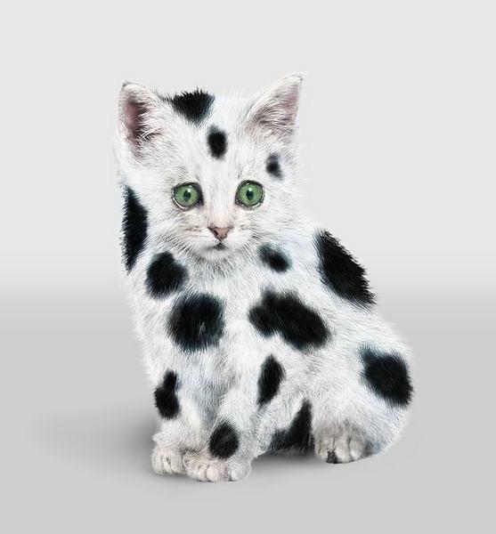 Dalmatiancat, dalmagatto