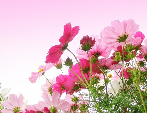 Cosmos in pink | by tanakawho