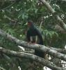 Red-throated Caracara by chris.w.birder