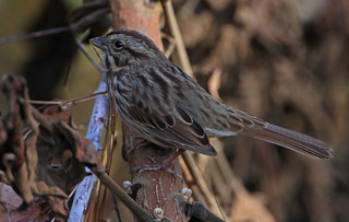 Song Sparrow - Melospiza melodia | by Cleber C. Ferreira