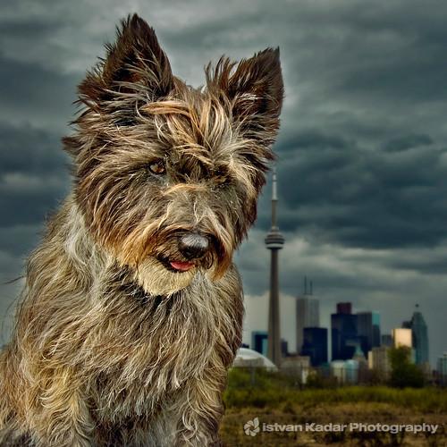 dog chien toronto skyline terrier 5bestdogs cairn cairnterrier mydog pipacs t50 fesign mywinners istvankadar multmegashot rubyphotographer thelitttledoglaughed lesamisdupetitprince chienlesamisdupetitprince