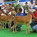 Sheep Mexico
