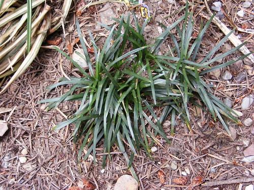 Liliaceae Ophiopogon japonicus, Mondo Grass, Lilyturf